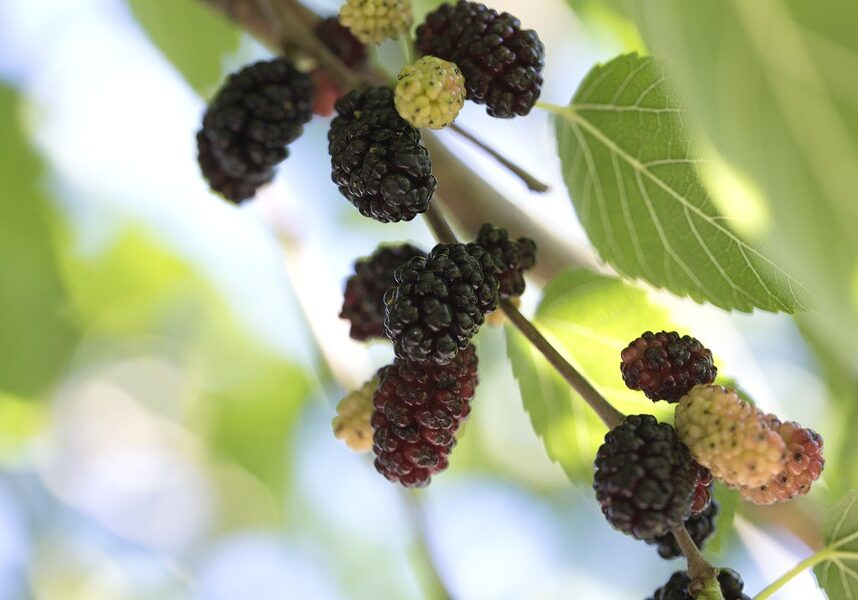 Mulberry fruit and green leaves on the tree. Mulberry this a fruit and can be eaten in have a red and purple color. Mulberry is delicious and sweet nature.