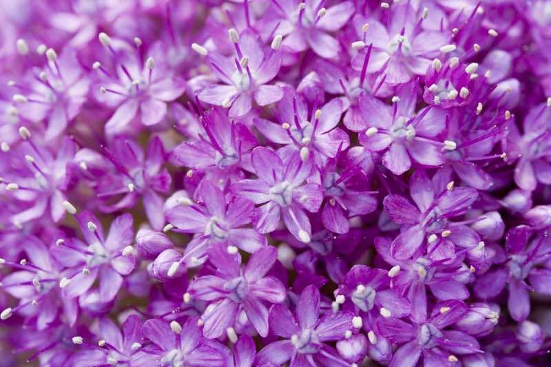 big purple flower macro (Allium Giganteum) - extreme close-up